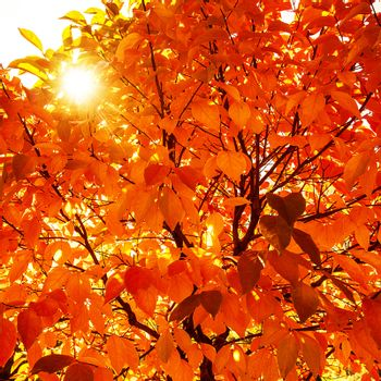 Natural autumnal background, red dry tree foliage, beautiful trees in the park in autumn, bright sun light, old colorful leaves, fall season