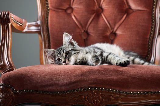 Cute Kitten relaxing on a baroque armchair