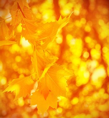Abstract autumnal background, dry golden maple leaves, soft focus, change of nature, sunny day, foliage texture, autumn concept