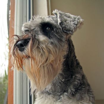 Schnauzer dog looking out of a window waiting for his master