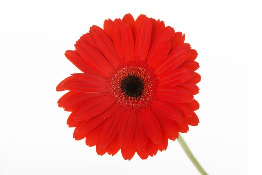 One separated red gerbera flower. Isolated on white.