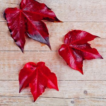 three red autumn leaves closeup on wooden background