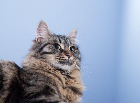 Beautiful long hair cat posing and looking away.