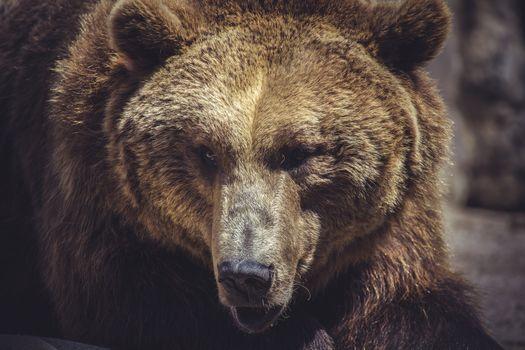 wildlife, Spanish powerful brown bear, huge and strong  wild animal