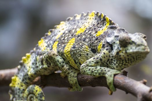 reptile, chameleon uploaded to a branch with beautiful green colors