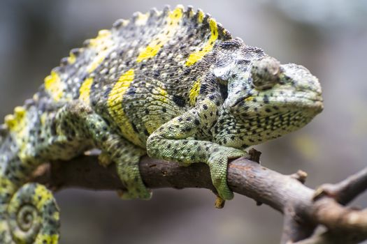 staring chameleon uploaded to a branch with beautiful green colors