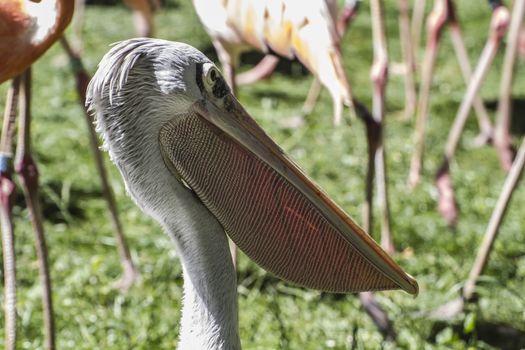 wildlife pelican, bird with huge beak