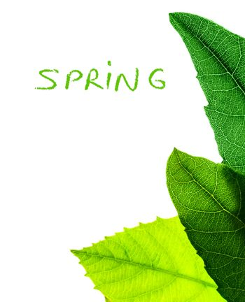 Abstract natural border, fresh green leaves isolated on white background, copy space with text, spring season concept