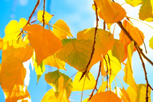 Autumn nature background, beautiful tree with dry yellow birch foliage on blue sky background, floral wallpaper, fall season concept