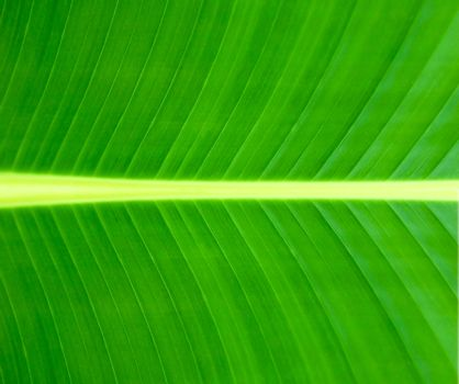 Texture of a green leaf background or texture