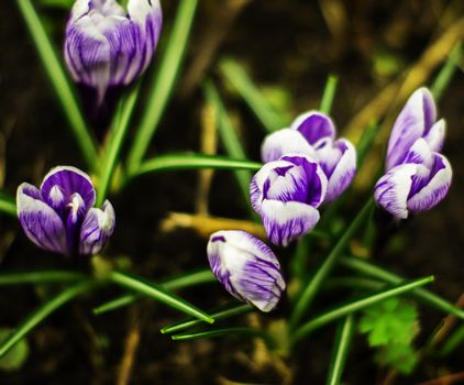 Crocus. For your commercial and editorial use