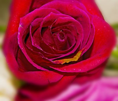 Rose. For your commercial and editorial use