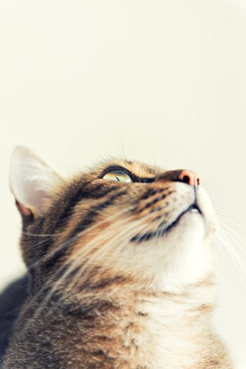 Tabby cat looking up