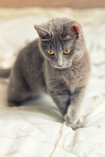 Gray cat with yellow eyes plays on bed