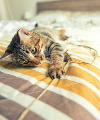 Tabby cat with yello eyes plays on bed