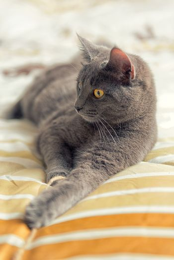 Gray cat with yello eyes plays on bed