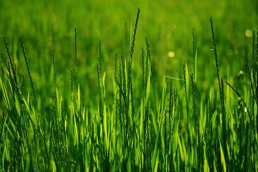 Fresh and Green Summer Grass