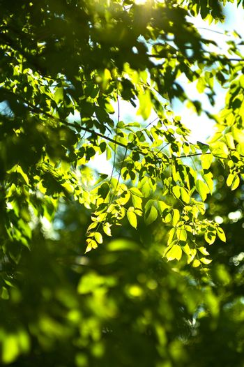 Summer Forest - Natural Sunlight Between the Leafes. Vertical Nature Photo Background
