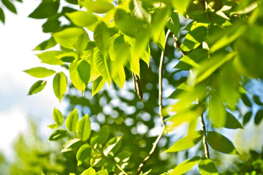 Green Summer. Nature Background. Green Summer Leafes Photo Background.