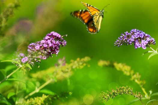 Summer Meadow. Monarch Butterfly in the Fly and Green Blossom Meadow.
