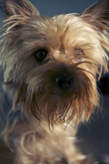 Beautiful 3 Years Old Australian Silky Terrier Portrait. Pets Photo Collection