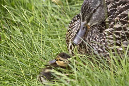 Mother Duck and Babies hidden in Saskatchewan Canada