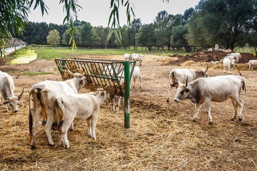 Hungarian gray cows, farm animals