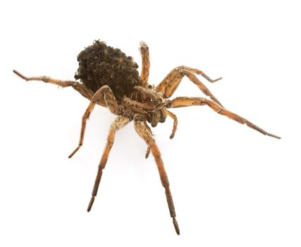 Wolf spider in front of white background