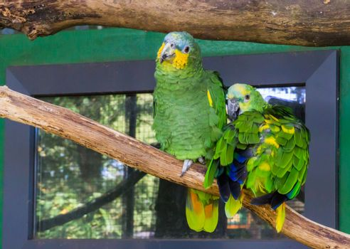 two funny and happy blue fronted parrots, sitting on a branch together, tropical pets from America