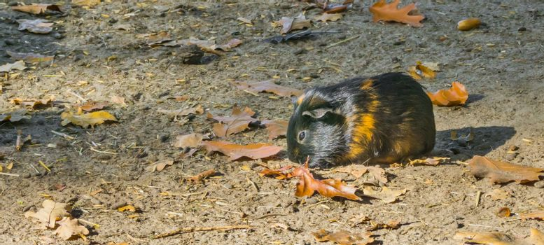 a black with brown banded guinea pig standing in the sand