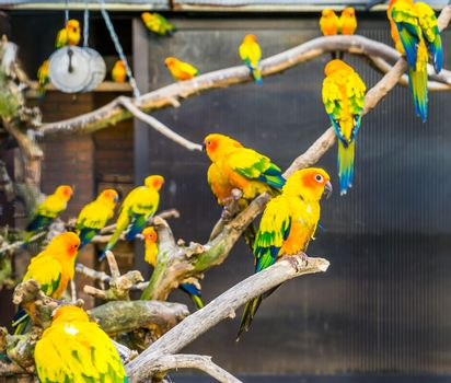 Aviculture, Colorful sun parakeets sitting on branches in the aviary, popular pets from America, Endangered bird specie