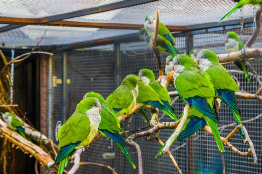 Big group of monk parakeets sitting together on a branch in the aviary, Popular pets in aviculture, tropical birds from Argentina