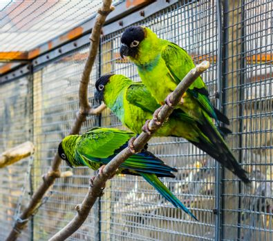 Three Nanday conures sitting together on a branch in the aviary, Popular pets in aviculture, Tropical small parrots from America