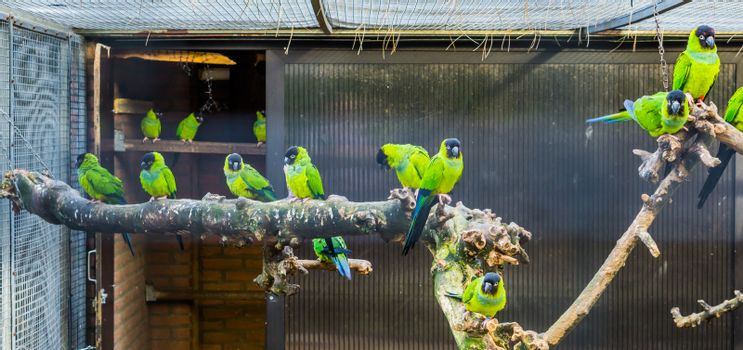 Aviary full with Nanday conures, popular pets in aviculture, Tropical birds from America