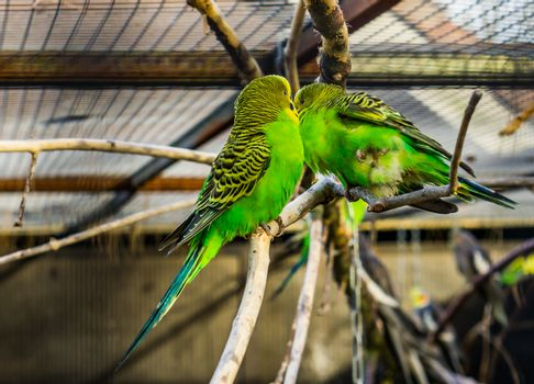 couple of budgerigar parakeets sitting together on a branch, tropical colorful birds from Australia, Popular pets in aviculture