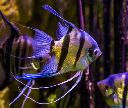 freshwater angelfishes swimming in the water, closeup of angelfish, popular pets in aquaculture, tropical fish from the amazon basin