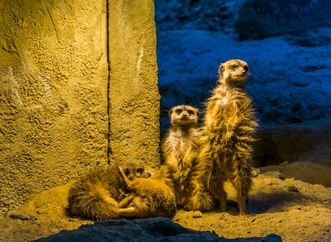 cute family portrait of meerkats together, two standing and two playing on the ground, popular zoo animals and pets