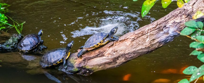 group of turtles sitting at the water side, popular tropical pets from America, Semi aquatic reptiles