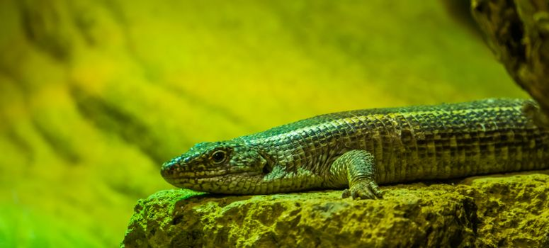 Black lined plated lizard in closeup, tropical lizard specie from Africa