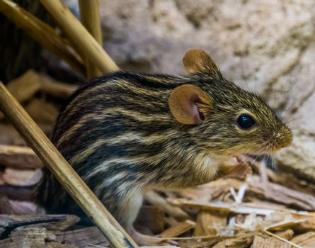 closeup portrait of a barbary striped grass mouse, popular tropical rodent from Africa, small cute pets