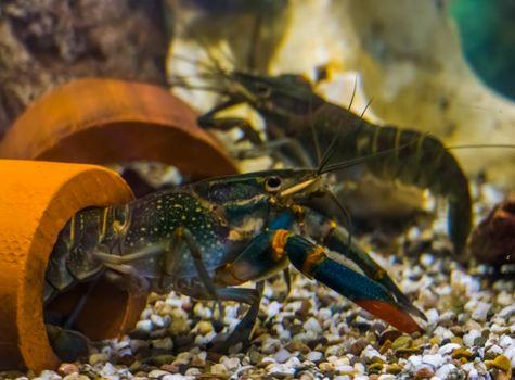 Australian red claw crayfishes underwater, popular aquarium pets from queensland in australia