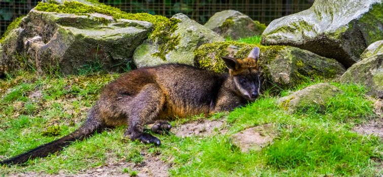 closeup of a swamp wallaby laying on the ground, tropical marsupial from Australia