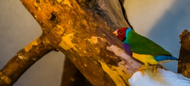 rainbow finch sitting on a tree branch, colorful tropical bird specie from Australia