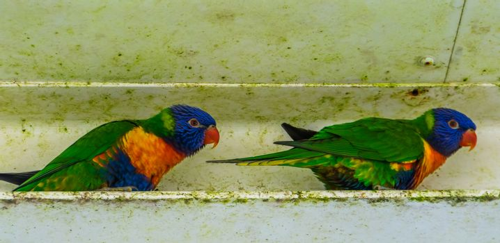 two rainbow lorikeets together, colorful tropical bird specie from australia