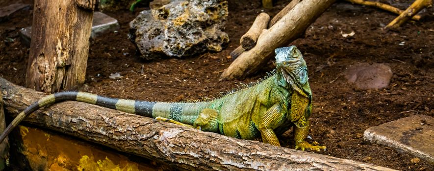 portrait of a green american iguana looking in the camera, popular tropical reptile specie from America