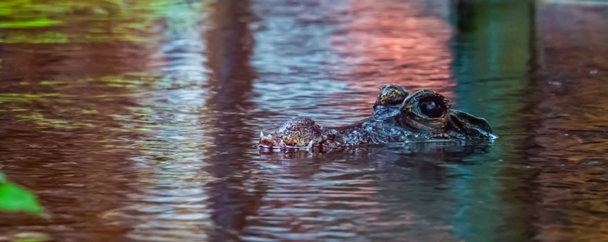 closeup of the face of a african dwarf crocodile in the water, tropical and vulnerable reptile specie from Africa