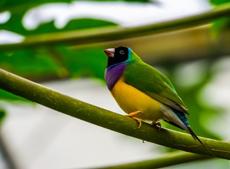 portrait of a black headed gouldian finch, colorful tropical bird specie from Australia