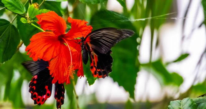 side closeup of a red scarlet butterfly on a chinese hibiscus flower, tropical insect specie from Asia