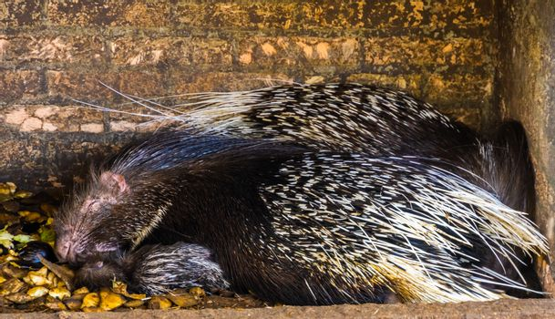 crested porcupine couple sleeping together, tropical rodent specie from Africa