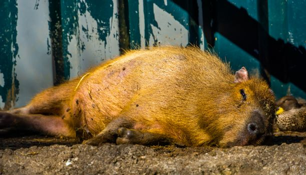 closeup portrait of a capybara resting on the ground, tropical cavy from South America